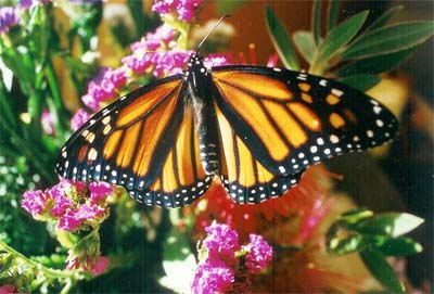 monarch butterfly migration comes to monterey