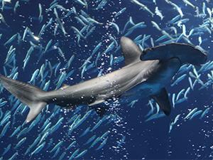 Monterey Bay Aquarium Shark Event