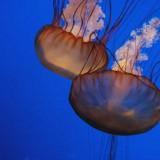monterey-aquarium-jellyfish2