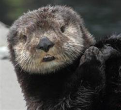 Sea Otter-2
