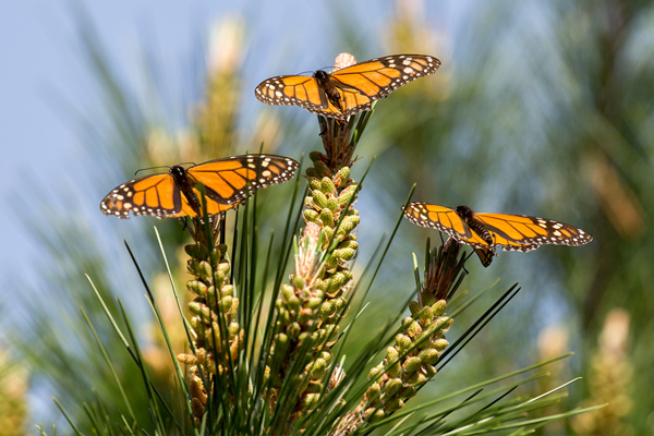 Monarch Butterflies in Monterey